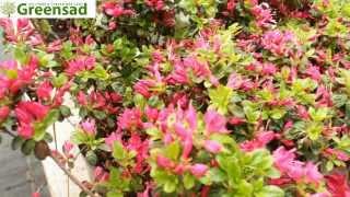 видео Азалия японская (фото) - уход и посадка | Сайт о саде, даче и комнатных растениях.