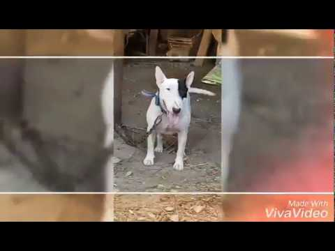 English Bullterriers | The Dad of All Dog Breeds | BARK 'N' BITE