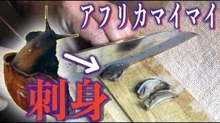 アフリカマイマイ捕獲して、刺身で食わせる!【ドッキリ】