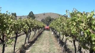 Corniola Grape Picking Festival
