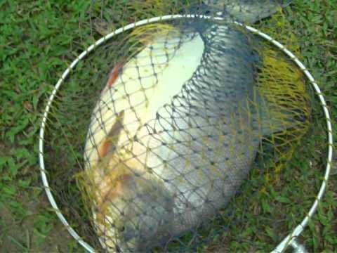 Câu cá Chim 5.36 kg ở Tây Hồ, Thanh Điền, Châu Thành, Tây Ninh