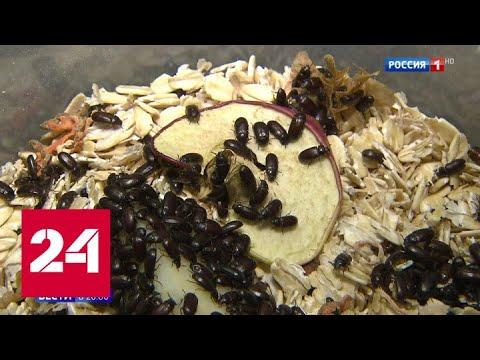 Жукотерапия - новый способ нажиться на россиянах: почему жуков-знахарей готовы глотать десятками -…