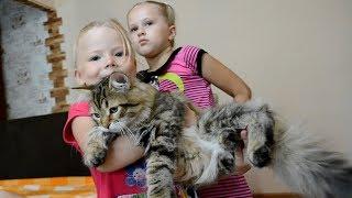 Шикарные огромные коты. Идеальная порода - сибирская кошка..