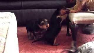 Lauras Puppies Essex
