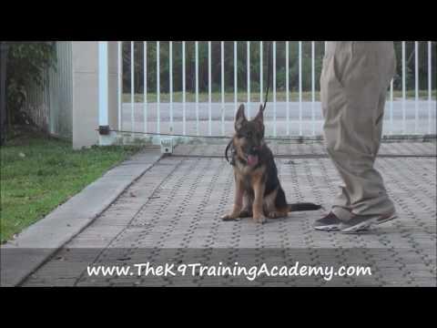 German Shepherd doing Basic Obedience - The K9 Training Academy