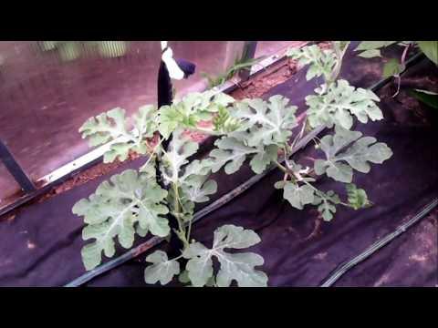 растим арбузы в теплице
