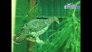 Дюжина краснокнижных глухарей доставлена в Самарскую область из Сибири