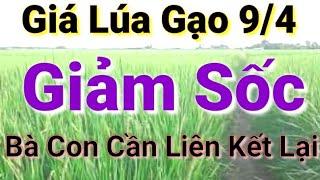 Giá lúa gạo hôm nay 9/4/2021 - thị trường lúa gạo mới nhất - thị trường hôm nay - Taiwan Thuy An