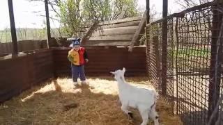 Домашние животные.Козлята.Home Animals.Goats