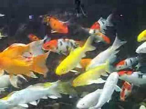 Pet supplies aquarium and fish for sale in sri lanka youtube for Aquarium 30l combien de poisson rouge