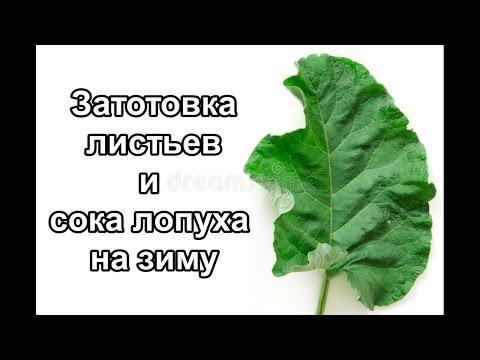 Заготовка листьев и сока лопуха на зиму. Рецепт