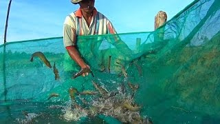 Shrimp farming in Aceh improves lives for small scale farmers