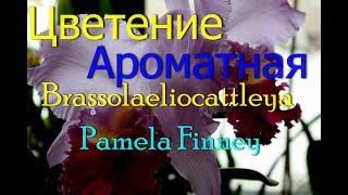 Самое шикарное цветение орхидеи.Brassolaeliocattleya Pamela Finney