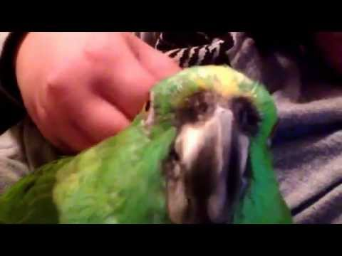 My 20 year old yellow naped Amazon parrot acts like a baby bird ❤️☺️
