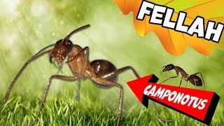 Муравьи-гиганты Кампонотус Феллах / Camponotus fellah
