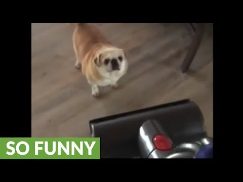 Pug absolutely loves to get herself vacuumed