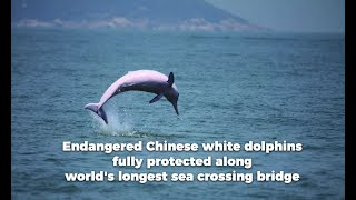 Endangered Chinese white dolphins fully protected along world's longest sea crossing bridge