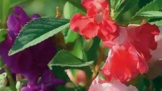 3 Espécies De Plantas Floríferas Que Gostam De Regas Regulares