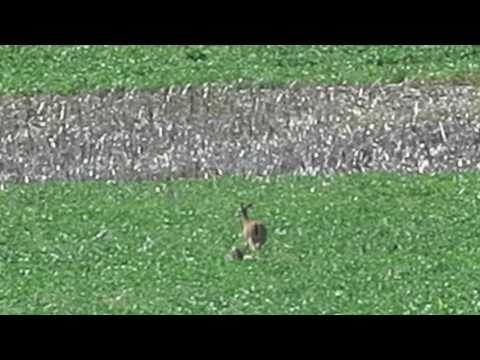 Doe & Fawn in the Soybeans