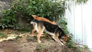 Perros comiendo moras
