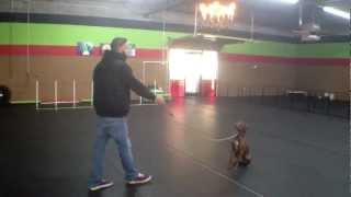 Mabel Working On Basic Obedience Dog Training Charlotte North Carolina