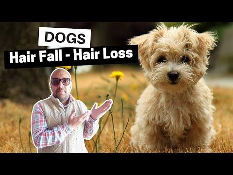 Hair Loss - Hair Fall Problems Dogs - Bhola Shola - YouTube