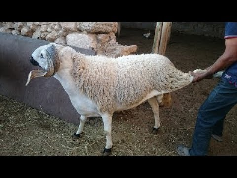 Sheeps in a moroccan house