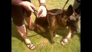 The Hair-raiser De-shedding Comb - And A German Shepherd