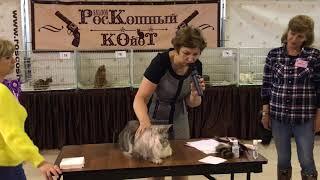Серебряный кот мейн-кун. Описание от эксперта Анны Назаровой. Castiel.