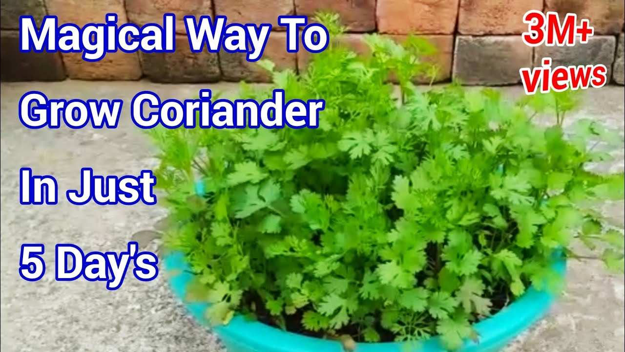 Magical Way To Grow Coriander In Just 5 Day S At Home How To Grow Coriander At Home Youtube