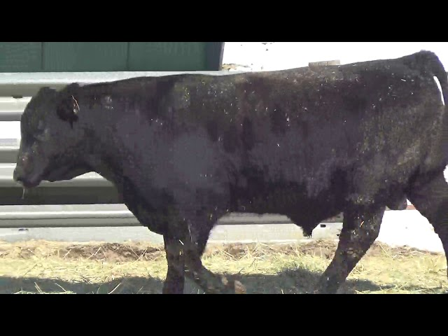 Connealy Angus Lot 430