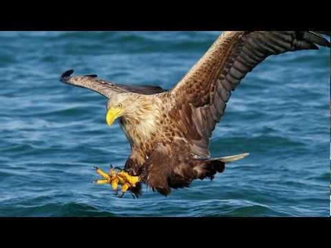 White Tailed Eagle.mp4