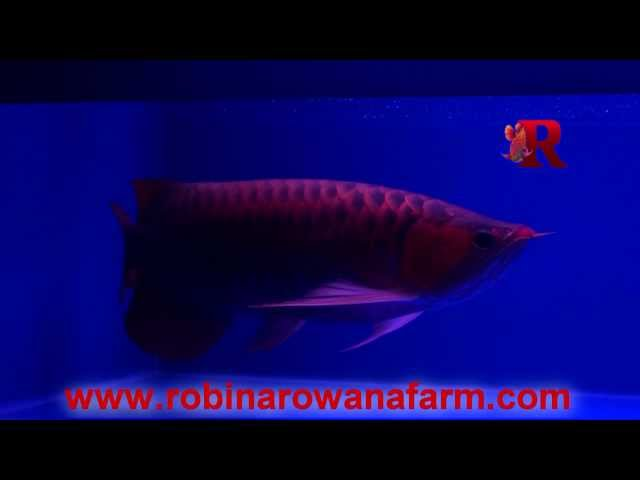 INDONESIAN RED AROWANA 48cm (6) By ROBIN AROWANA FARM [HD]