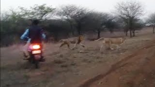 Viral Video Bikers Chase Lions Gujarat Forest Department Launches Inquiry