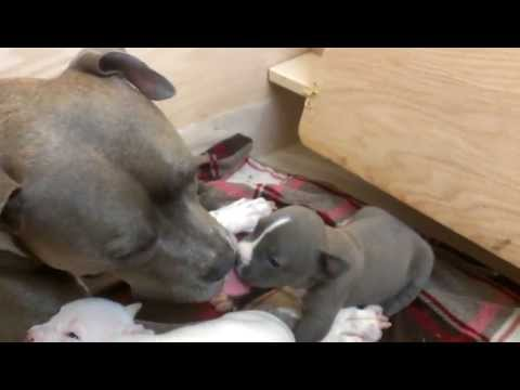 Blue Subi 3 year old Pitbull beat up by Pitbull Puppy 3 weeks old