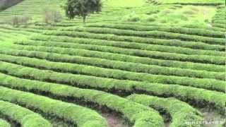 Boseong - Green Tea Fields, South Korea