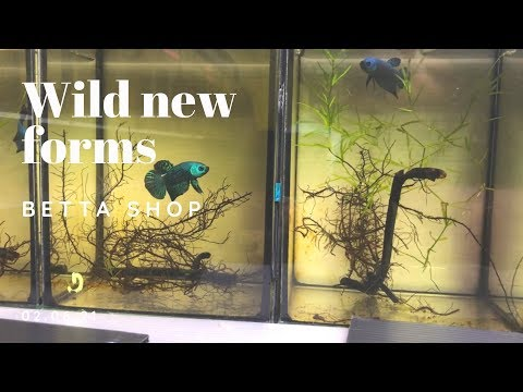 Betta Shop - New Wild Betta Forms