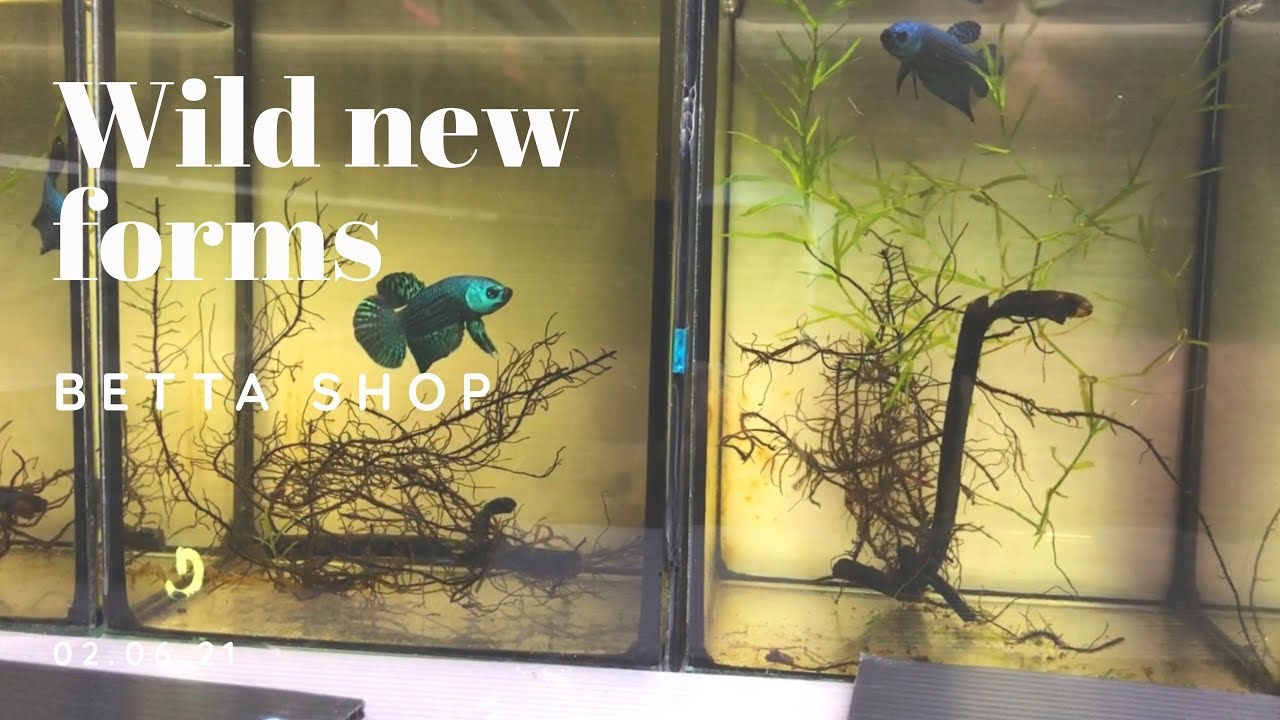 Betta shop - New Wild Betta Forms