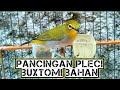 Pancingan Pleci Buxtomi Bahan Agar Meriwik Buka Paruh  Mp3 - Mp4 Download