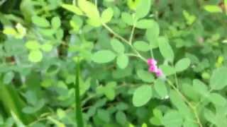 屋久島萩(ヤクシマハギ)の小さい花 Lespedeza yakushima (Healing video)