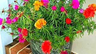 Dicas Para Cultivar Flores Onze Horas