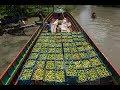 বরিশালের পেয়ারার বাগান ও ভাসমান পেয়ারার বাজার পর্ব ২ । Floating guava market part 02