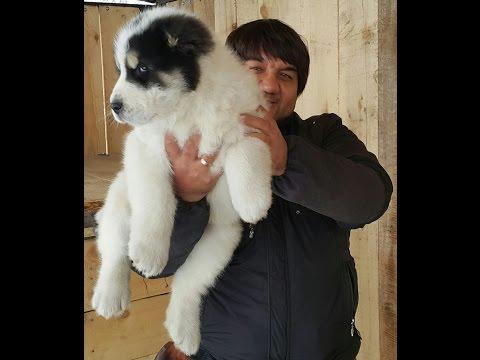 видео: Вес щенка азиатской овчарки в 2 месяца и 10 дней.