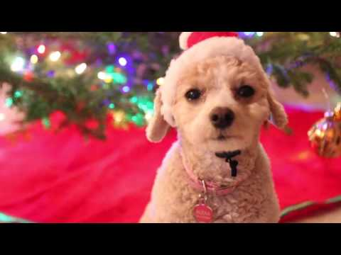 Cute Dog Wishes You Happy Holidays | Nala The Toy Poodle