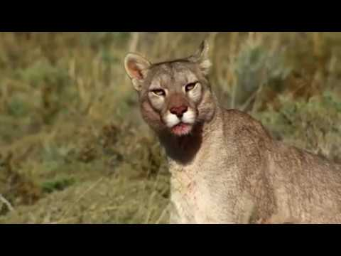 Big cat and her three little in wild nature Puma documentary film about the secret life of Big cats