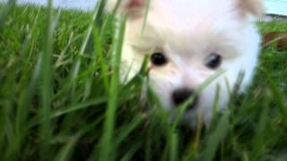 Fluffy - Dog's Eye View Of Our Pomeranian's First Day Home