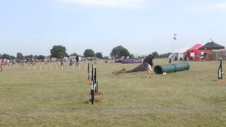 Otto Agility Border Terrier - Orsett Essex