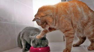 СМЕШНОЕ ВИДЕО ПРО КОШЕК 2016 FUNNY VIDEOS ABOUT CATS 2016
