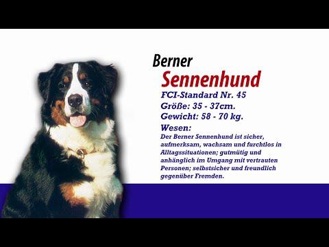 Meister PETz TV - Berner Sennenhund