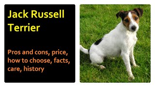 Jack Russell Terrier. Pros and Cons, Price, How to choose, Facts, Care, History